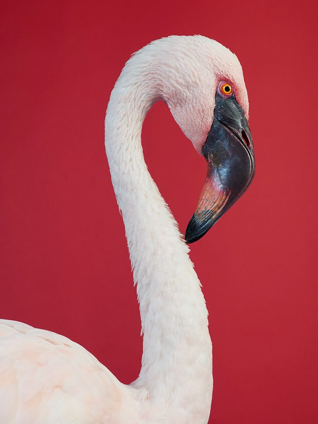Flamingo-aura-jasper-abels-copy-620x827