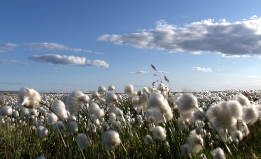 campo-de-algodón